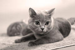 British Shorthair mother cat Stock Images