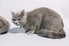 British Shorthair mother cat Stock Photos