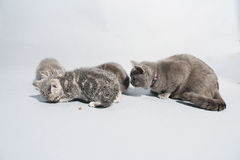 British Shorthair mother cat Royalty Free Stock Image