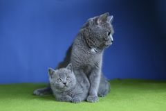 British Shorthair mother cat hugging her kitten, isolated portrait. Mom cat and kitten isolated portrait on a green floor royalty free stock photography