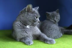 British Shorthair mother cat and kitten, isolated portrait. Mom cat and kitten isolated portrait on a blue background, green floor royalty free stock images