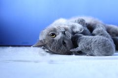 British Shorthair mother cat taking care of her new born kitten. Blue background royalty free stock photos