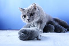 British Shorthair mother cat taking care of her new born kitten. Blue background royalty free stock image