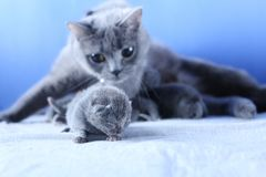 British Shorthair mother cat taking care of her new born kitten. Blue background stock photos