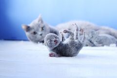 British Shorthair mother cat taking care of her new born kitten. One day old, blue background royalty free stock photography