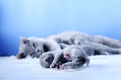 British Shorthair mother cat taking care of her new born kitten. One day old, blue background stock images