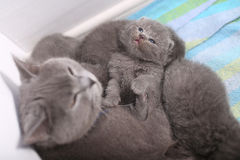 British Shorthair mother cuddling her baby Royalty Free Stock Photography