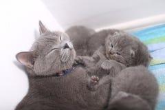 British Shorthair mother cuddling her baby Stock Photos
