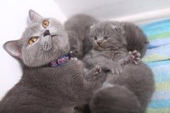 British Shorthair mother cuddling her baby Royalty Free Stock Photo