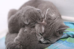 British Shorthair mother cuddling her baby Stock Images