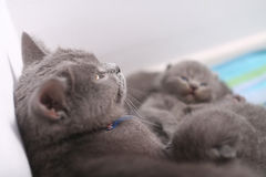 British Shorthair mother cuddling her baby Stock Photography