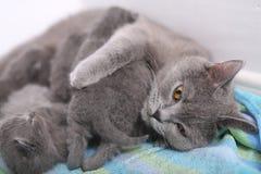 British Shorthair mother cuddling her baby Stock Image