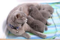 British Shorthair mother feeding her babies Stock Image