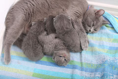 British Shorthair mother feeding her babies Stock Photography