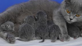 British Shorthair mother feeding her babies stock footage