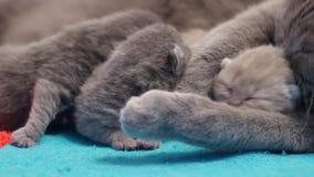 British Shorthair mother feeding her babies stock video footage