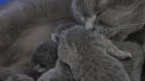 British Shorthair mother feeding her babies stock video