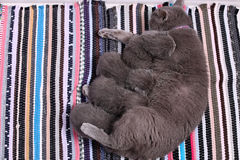 British Shorthair mother feeding her babies, portrait Royalty Free Stock Photography