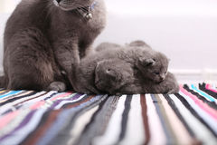 British Shorthair mother feeding her babies, portrait Royalty Free Stock Images
