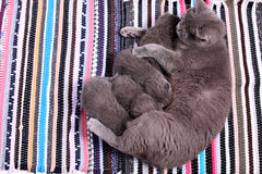 British Shorthair mother feeding her babies, portrait Stock Image