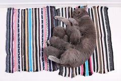 British Shorthair mother feeding her babies, portrait Stock Photos
