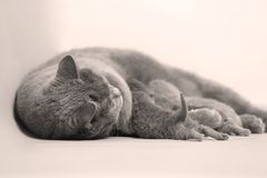 British Shorthair mother feeding her babies. Portrait of a mother cat breastfeeding her newly born kittens, British Shorthair Royalty Free Stock Image