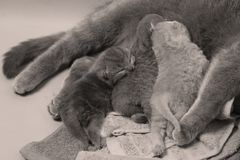 British Shorthair mother feeding her babies. Portrait of a mother cat breastfeeding her newly born kittens, British Shorthair Stock Photo
