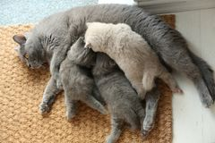 British Shorthair mother feeding her babies. Portrait of a mother cat breastfeeding her newly born kittens, British Shorthair, close-up view on the doormat stock photos