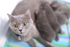 British Shorthair mother feeding her babies Stock Images