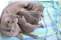 British Shorthair mother feeding her babies Royalty Free Stock Images
