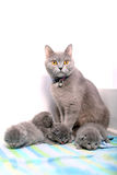 British Shorthair mother feeding her babies, portrait Stock Images