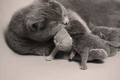British Shorthair mother feeding her babies. Portrait of a mother cat breastfeeding her newly born kittens, British Shorthair Royalty Free Stock Photography