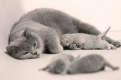British Shorthair mother feeding her babies. Portrait of a mother cat breastfeeding her newly born kittens, British Shorthair Stock Image