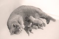 British Shorthair mother feeding her babies. Portrait of a mother cat breastfeeding her newly born kittens, British Shorthair Stock Photos