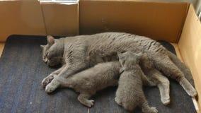 British Shorthair mother feeding her kitten Stock Photo