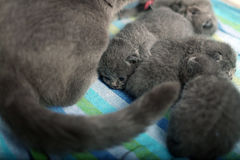 British Shorthair mother with her babies Royalty Free Stock Photography