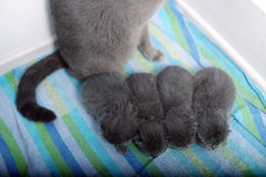 British Shorthair mother with her babies Royalty Free Stock Image
