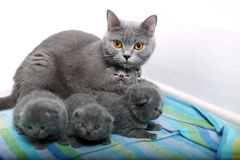 British Shorthair mother with her babies Royalty Free Stock Images