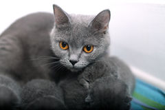 British Shorthair mother with her babies Stock Photography