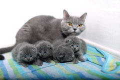 British Shorthair mother with her babies Stock Photos