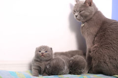 British Shorthair mother and her babies Royalty Free Stock Photos