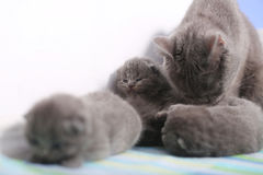 British Shorthair mother and her babies Royalty Free Stock Image