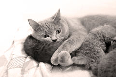 British Shorthair mother with her baby Royalty Free Stock Photos