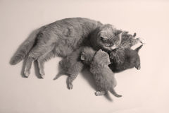 British Shorthair mother with her baby Stock Photography