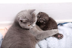 British Shorthair mother with her kitten. Newly born kitten, British Shorthair, with the mother, 7 days old baby, first days of life Royalty Free Stock Image