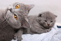 British Shorthair mother with her kitten Stock Image