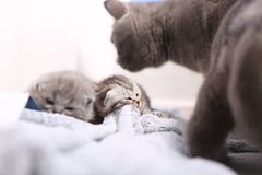 British Shorthair mother with her kittens Royalty Free Stock Photography