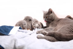 British Shorthair mother with her kittens Royalty Free Stock Images