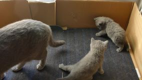 British Shorthair mother with her kittens Stock Images