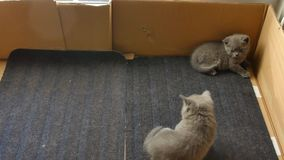 British Shorthair mother with her kittens stock video